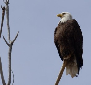 Bald Eagle taken at Cherry Creek State Park Colorado