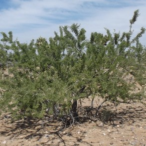 Catclaw Acacia Tree