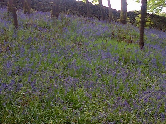 Wild bluebells in the woods