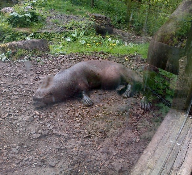 sunbathing Giant Otter