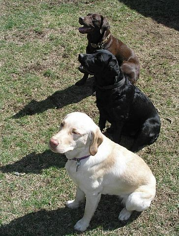 Molly, Zoey, and Chance - all three labrador colors