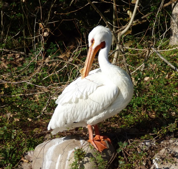 White Pelican on a Rock