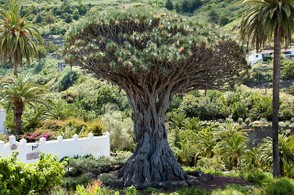 Drago Milenario Dragon Tree