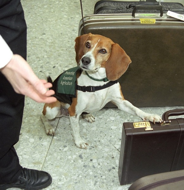 Beagle finds contraband