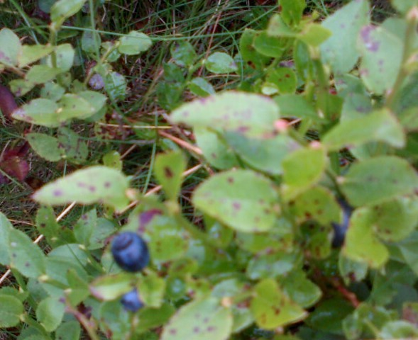 Whinberries grow inside the bushes