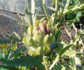 artichokes in kitchen garden