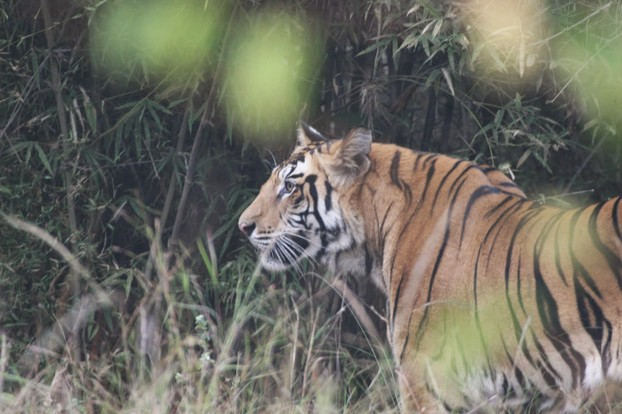 Male Tiger at Tadoba