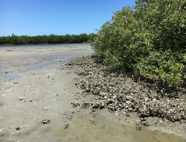 Oysters Near Mangroves in Florida's Backwater at Low Tide