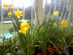 daffodils and Narcissi below