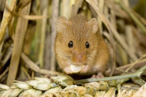 Harvest Mouse Eating Wheat Seed By: Andy Sands