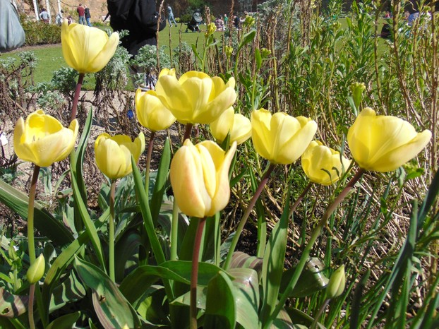 My favourites - yellow tulips