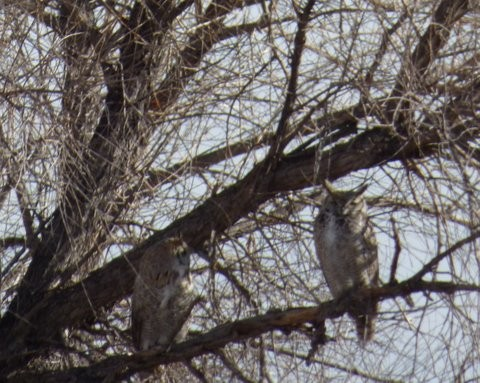 Mating Great Horned Owls