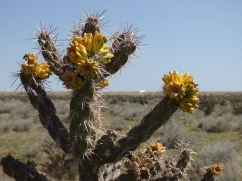 Blooming Choyo Cactus Also Spelled Cholla