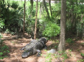 This is Crazy, the dominate male alligator in our park. He often attacks both male and female gators, hence the name.