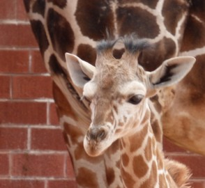 3 Month Old Giraffe