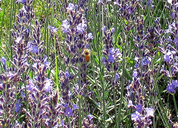 Bees Love Lavender, Too