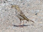 Meadow Pipit Collecting Food for Chicks