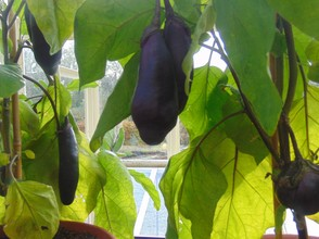 aubergines ( egg plants )