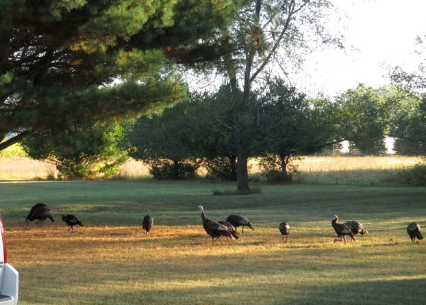 Wild turkeys coming to visit