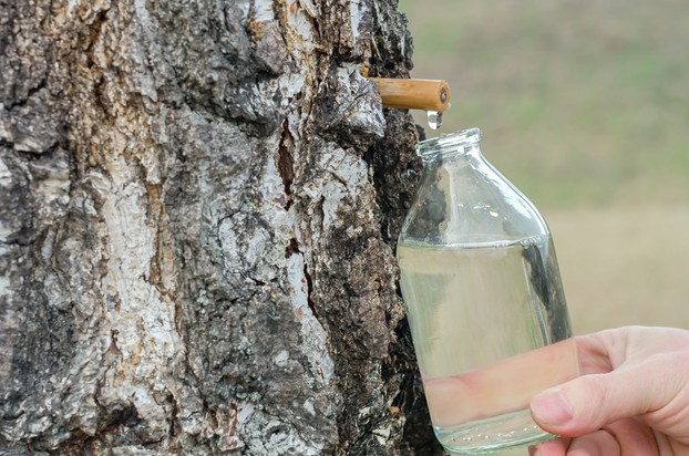Birch Sap Collecting