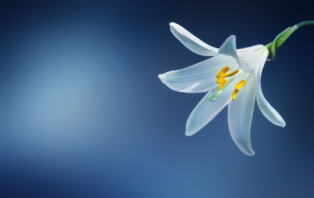 The Madonna Lily