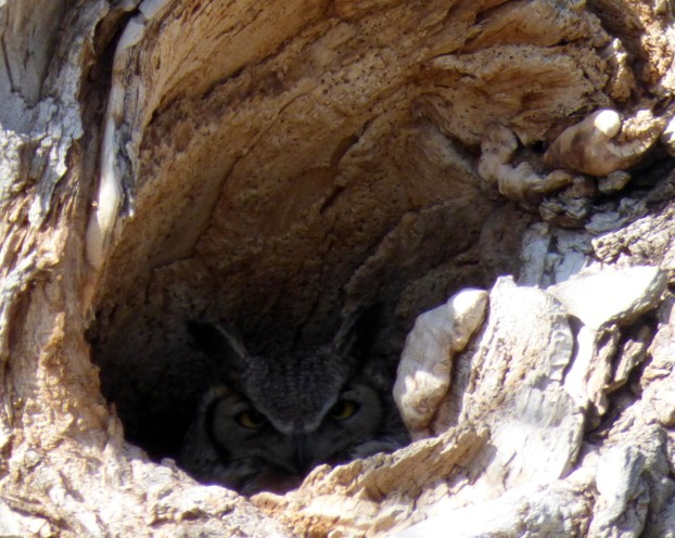 Great Horned Owl In a Tree Hallow