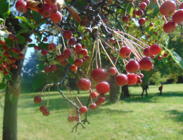 Chinese red  crab apples