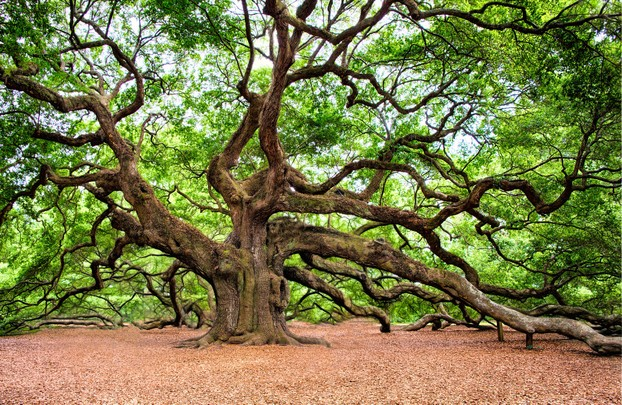 An ancient oak
