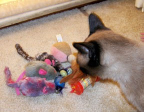 Siamese Cat chooses a toy