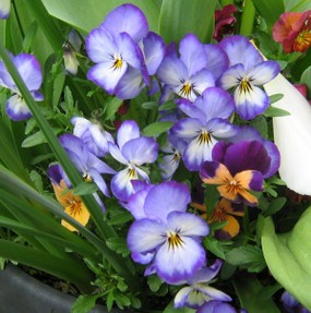 Violas in flower in a container