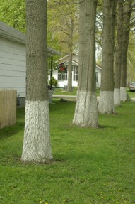 Row of trees with white trunks