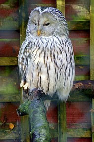 An Owl in an enclosure at the Hawk Conservancy