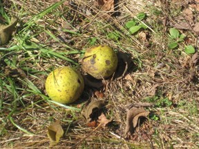 Black walnuts with green coating