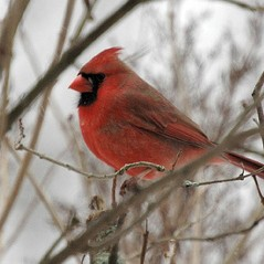 "Northern Cardinal by <a href=""http://www.flickr.com/photos/hlkljgk/410567328/in/photostream/"">hlkljgk</a>"