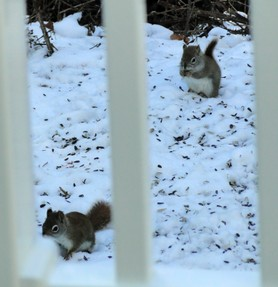 two red squirrels in winter