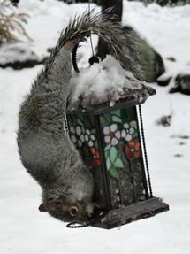 gray squirrel on birdfeeder