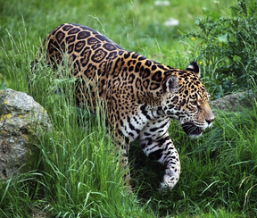 Interesting Facts About Jaguars For Kids