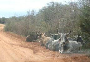 Texas Zebu Cattle