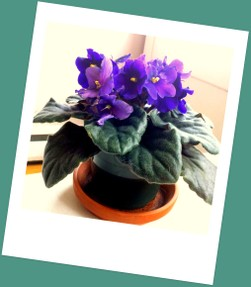 African Violet in full bloom, purple flowers