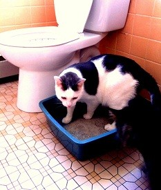 Albus Toilet Trained Cat City Kitty Step 1