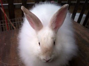 Lilac Point Angora Rabbit