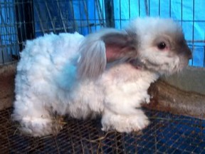 Clipped Angora Rabbit
