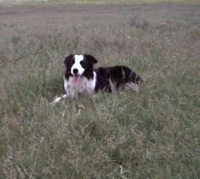 Border Collie Rueben