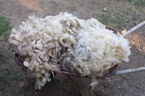 A raw fleece from my sheep