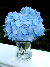 light blue hydrangea flower