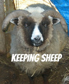 keeping sheep