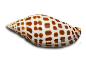 junonia seashell picture