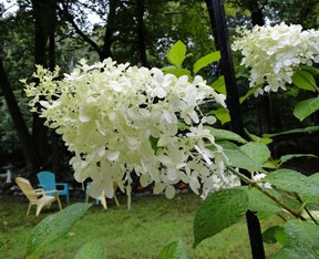 tree form paniculata white