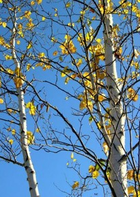 white birch yellow leaves