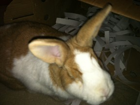 Trixie in her box with shredded paper!  She thinks it's the best homemade rabbit toy ever!
